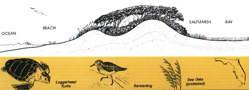 sand dune succession essay