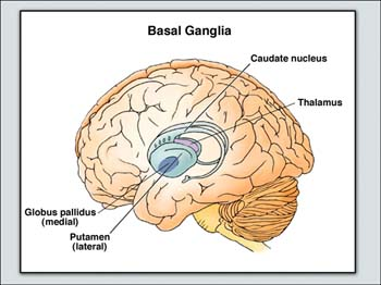 Big brain the origins and future of human intelligence these four significant parts of the central nervous system expanded from reptilian to mammalian species ccuart Gallery