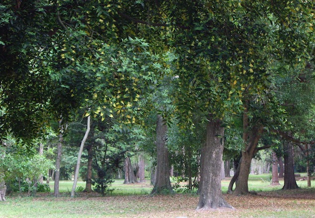 Woodlands Of Mixed Oak U0026 Magnolia Hardwood, With Taller Pines Form This  Gardenu0027s Canopy; While Beauty Berry And Camellias Occupy In The Shaded  Understory ...