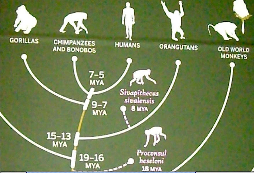 evolution of orangutans essay