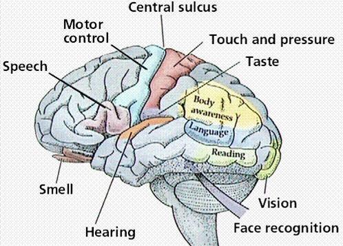 Brain Lobes Diagram   Brain Sense Diagram Wiring Diagram Will Be A Thing